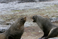 2563 Mathews Island Fur Seals