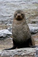 2555 Mathews Island Fur Seal