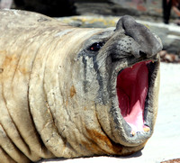 Sea_Lion_Island_Elephant_2_RBD_4312