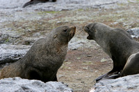 2565 Mathews Island Fur Seals