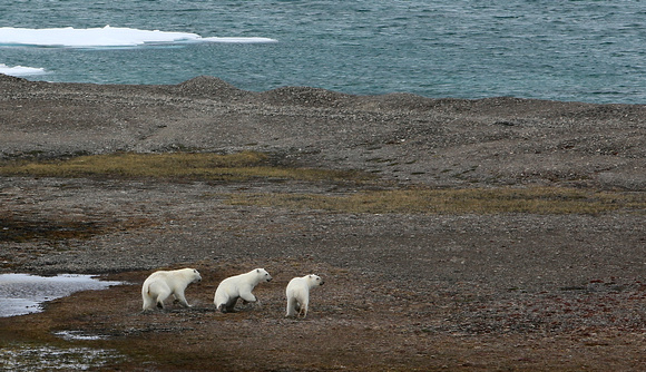 F68A6308 Polar Bears NW Passage 2