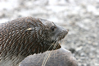 1775 Prion Island  Fur Seal